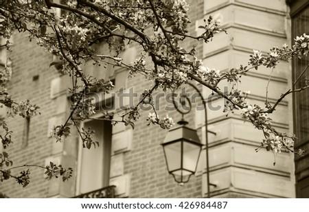 Spring in Paris. Blossoming Sakura tree and typical Parisian building. Sepia aged photo. - stock photo