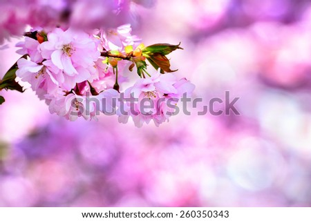 Spring in Stockholm, Cherry trees - stock photo