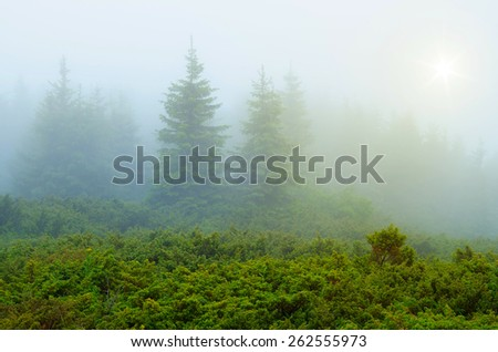 Spring in the mountains. Fog in the fir forest - stock photo
