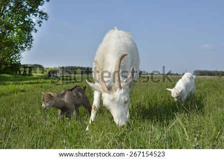 Spring in the village of goat grazing in the meadow with two small goats gray and white. - stock photo