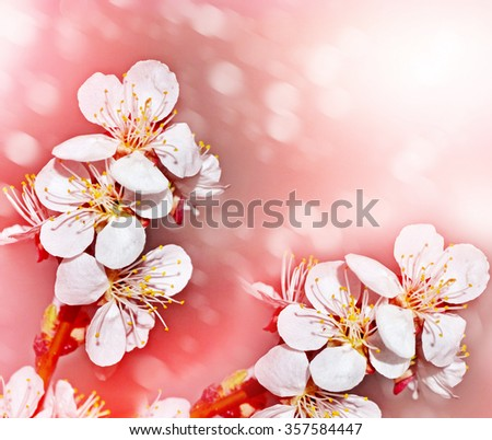 Spring landscape. Flowering branch of cherry - stock photo
