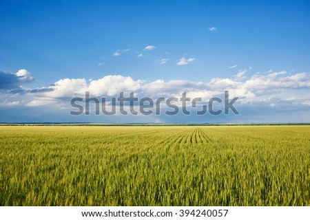 spring landscape - green grass wheat field and blue sky  - stock photo