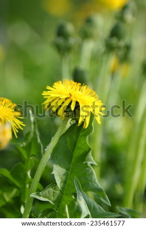 spring landscape of flowers dandelions - stock photo