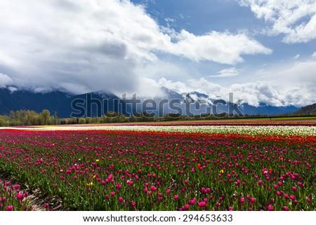 Spring Landscape, Tulip Flower Field in Agassiz BC Canada   - stock photo