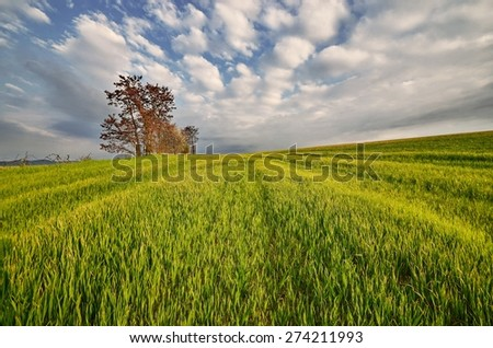 spring landscape with young corn and a cloudy sky - stock photo
