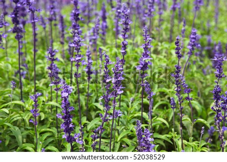 Spring Lavender with grass in the parks - stock photo