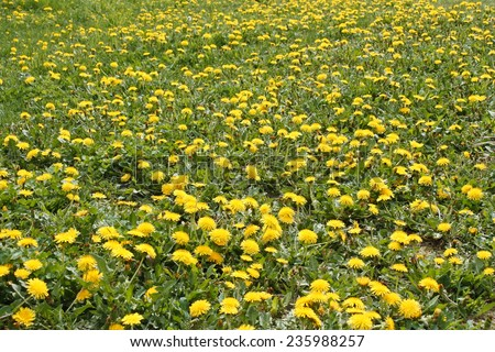 Spring lawn with a lot of dandelions blooming plants on a meadow - stock photo