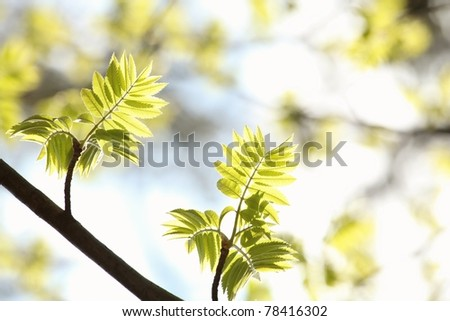 Spring leaves against the blue sky. - stock photo