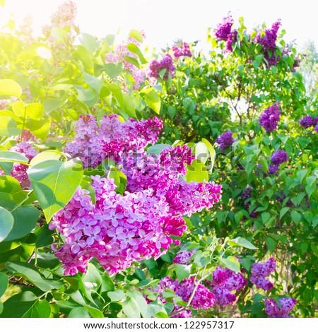 spring lilac - stock photo