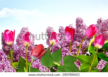 spring. lilac branch. tulips - stock photo