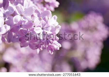spring lilac  flowers, natural abstract  soft floral background - stock photo