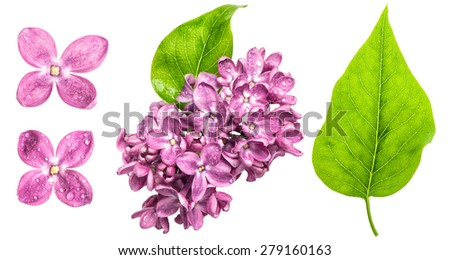 Spring lilac flowers with water drops isolated on white background. Pink blossoms and green leaf - stock photo