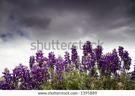 Spring lupine flowers in front of the stormy sky. - stock photo
