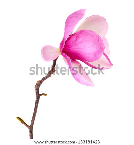 spring magnolia blossoms on white background - stock photo