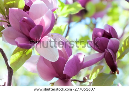 spring magnolia  flowers, natural abstract  soft floral background - stock photo