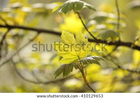 Spring maple leaf. - stock photo