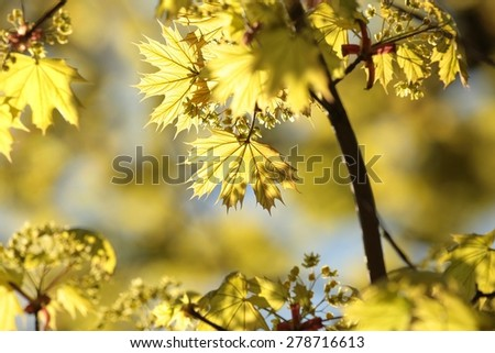 Spring maple leaves in the morning. - stock photo