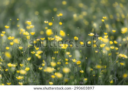Spring meadow, buttercups - stock photo