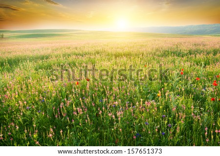 Spring meadow of violet flower. Nature composition. - stock photo
