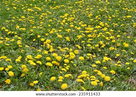 Spring meadow with a lot of dandelions blooming plants - stock photo