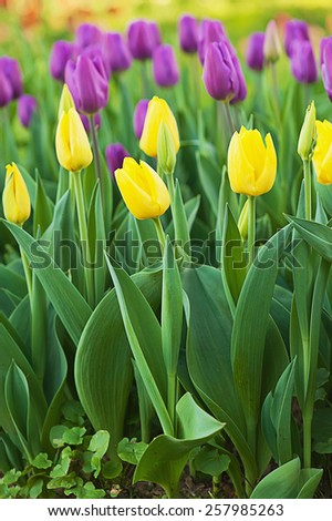 Spring meadow with a lot of multicolored tulip flowers, floral easter background - stock photo