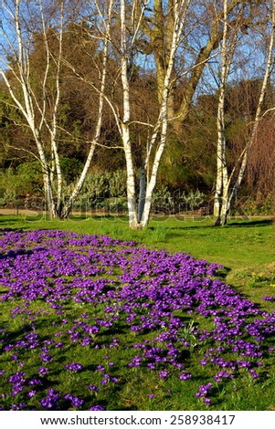Spring meadow with crocus flowers - stock photo
