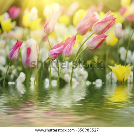 Spring meadow with violet pink tulip flowers, floral sunny seasonal background with water reflection - stock photo