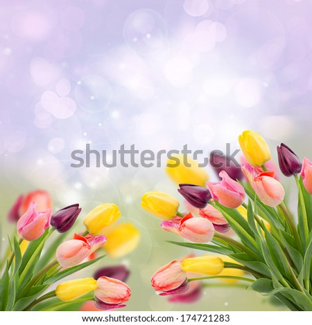 spring multicolored tulips on blue festive   background - stock photo