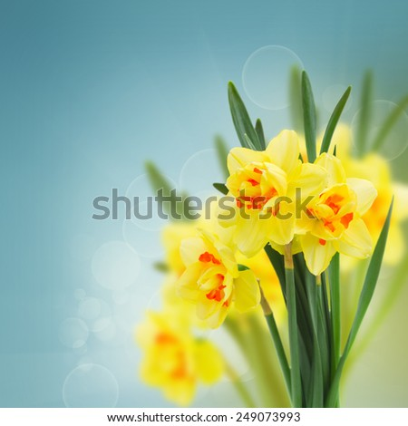spring narcissus flowers  in garden on blue bokeh background - stock photo