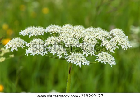 Spring natural background of white wildflower with inflorescence in the form of an umbrella on a meadow - stock photo