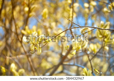 Spring natural background - yellow buds of Salix caprea -goat willow, also known as the pussy willow or great sallow - stock photo