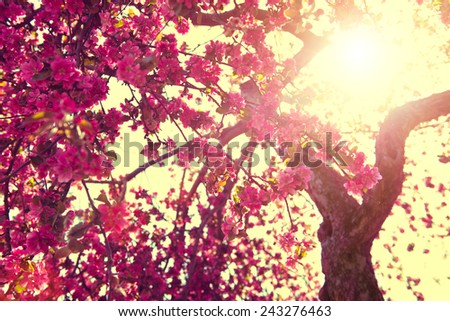 Spring Nature background blooming tree over sunny sky. Spring Blossom. Apple Flowers. Sun flare. Vintage style toned - stock photo