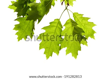 Spring Oak Leaves on Branch Isolated on White - stock photo