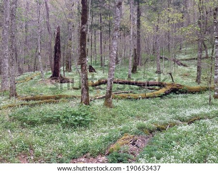 Spring on the forest floor in Great Smoky Mountains National Park - stock photo
