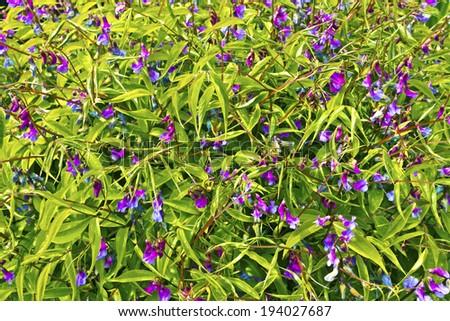 Spring pea Lathyrus vernus perennial flowering plant. - stock photo