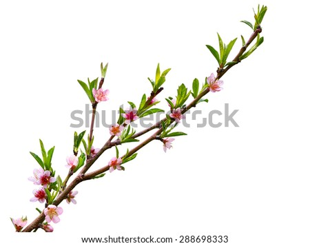 Spring peach blossom flower isolated on white background - stock photo