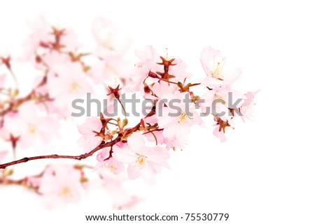 Spring pink blossoms isolated on white background - stock photo