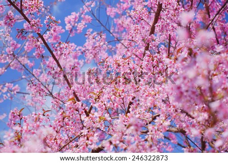 Spring Pink Cherry Blossom Flowers - stock photo