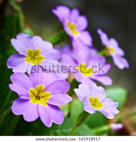 Spring pink flowers (Primula vulgaris) in the forest - stock photo