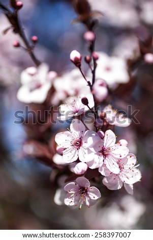 spring  pink flowers with branch and blue sky outdoors - stock photo