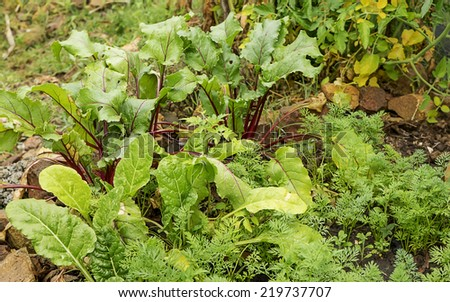 Spring plants, vegetable seedlings growing in organic garden - stock photo