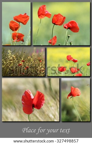 spring postcard with red wild poppies and place for your text ( Papaver rhoeas ) - stock photo