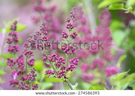 Spring purple / violet buds of lilac flowers - stock photo
