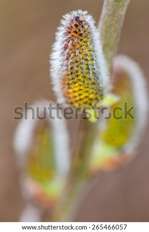 Spring pussy willow catkins background - grey fluffy buds on tree branch - stock photo