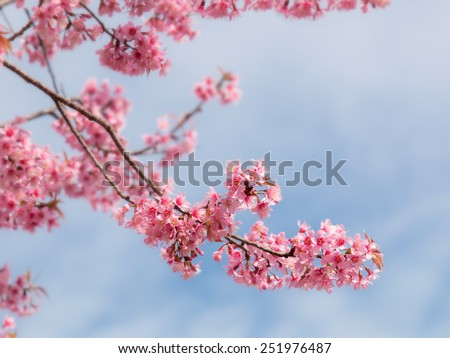 Spring Sakura Cherry Blossom - stock photo