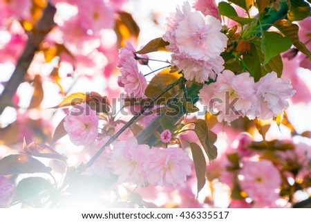Spring sakura cherry flowers background. Beautiful tree branch pink flowers blossom in spring. Spring sunlight in april with blooming pink sakura. Spring nature background. Japanese sakura blossom - stock photo