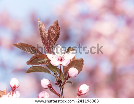 Spring scenic - twig with pink plum blossoms - stock photo