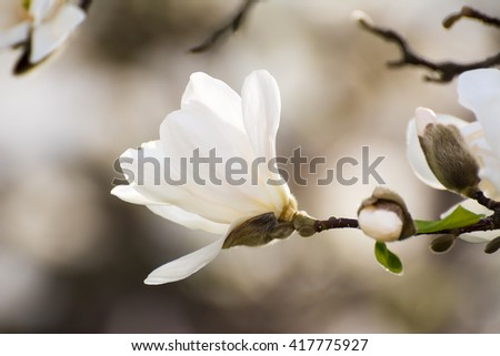 Spring scenic with blossoms of white flowering magnolia tree - stock photo