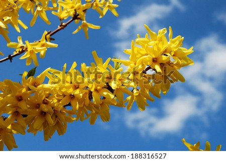 Spring shrub with yellow flowers. Blooming Forsythia.  - stock photo
