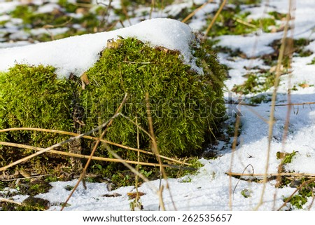 Spring. Snow thawed patches. Green moss close up. - stock photo